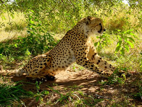 a cheetah crouches ready to pounce