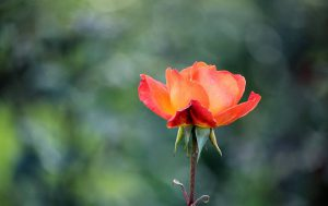 Beautiful pink and orange rose in full bloom