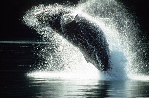Humpback whale in full breach 90% of body is lited out of the water