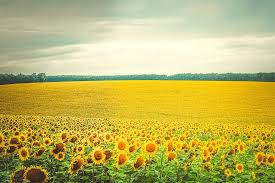 a field of sunflowers as far as the eyes can see