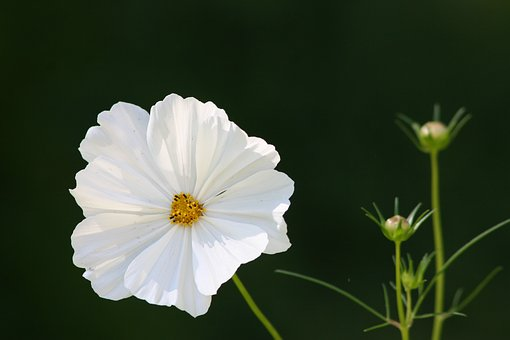 a beautiful white poppy in full bloom
