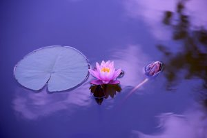 a beautiful lotus flower sits on the water