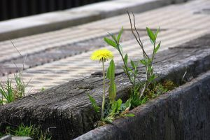 a yellow flower grows between a crack in the cement