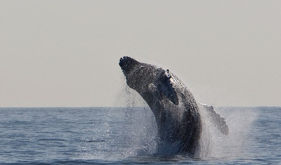 A huge humpback whale breaches to lift two thirds of it's body out of the water