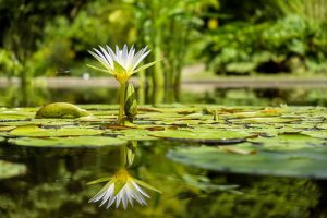 beautiful white lotus springs from the water