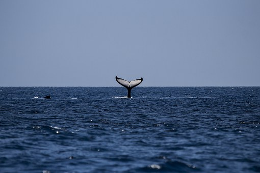 The middle of the ocane sees the small portion of a gigantic humpback whales tail waving good bye to the past