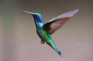 Photo of a hummingbird stationary in flight