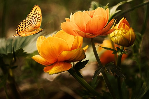 A beautiful yellow butterfly approaches a yellow flower in full bloom
