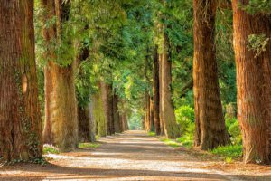 a small dirt track separates tall trees in a beautiful forest