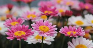 pink and white dasies